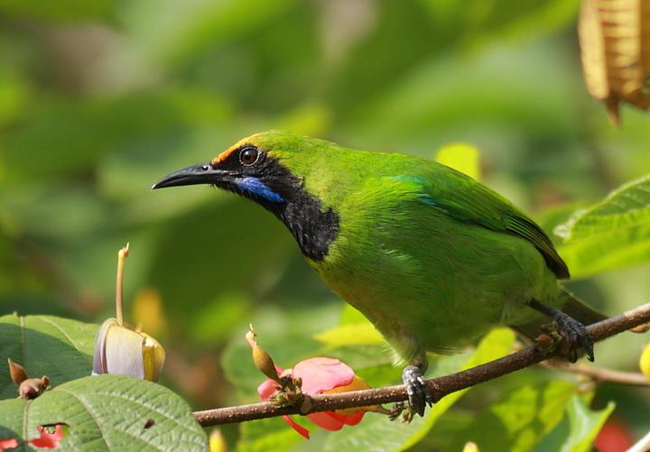 Golden-Fronted-Leafbird