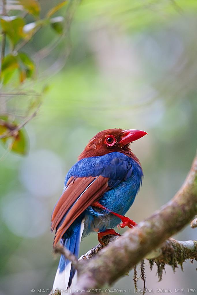 Sri-Lanka-Blue-Magpie