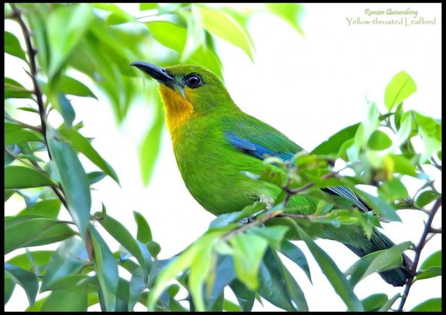 Yellow-throated-Leafbird-870x615
