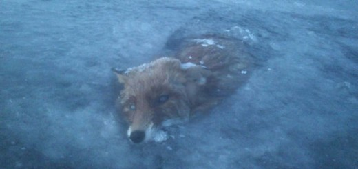 Un zorro se congela buscando peces en el agua