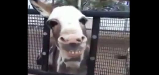 Un niño pide a un burro que sonríe y le sonríe Impresionante video