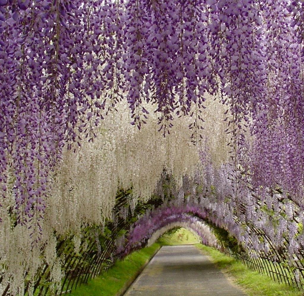 Wisteria flores