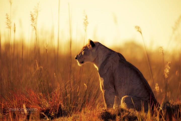 alrededordelmundo fotos leones 34