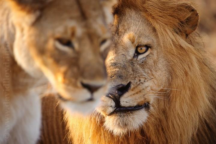 alrededordelmundo fotos leones 66