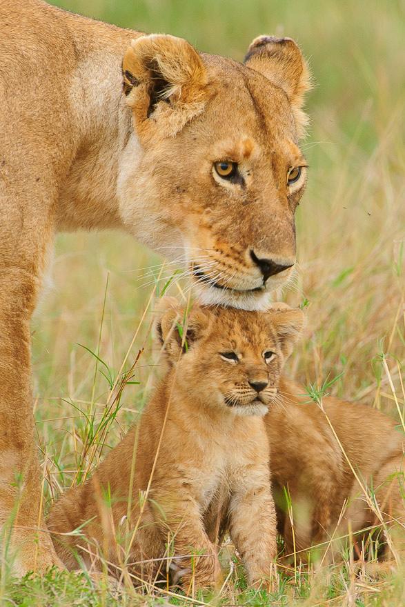 alrededordelmundo fotos leones zoo