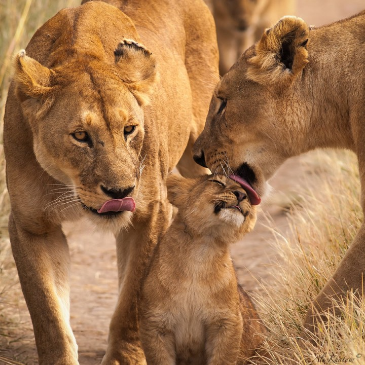 fondo leones