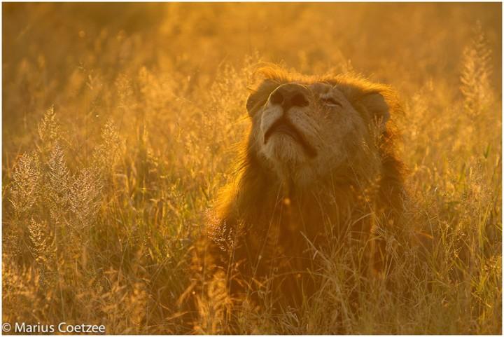 fotos leones alrededordelmundo 2