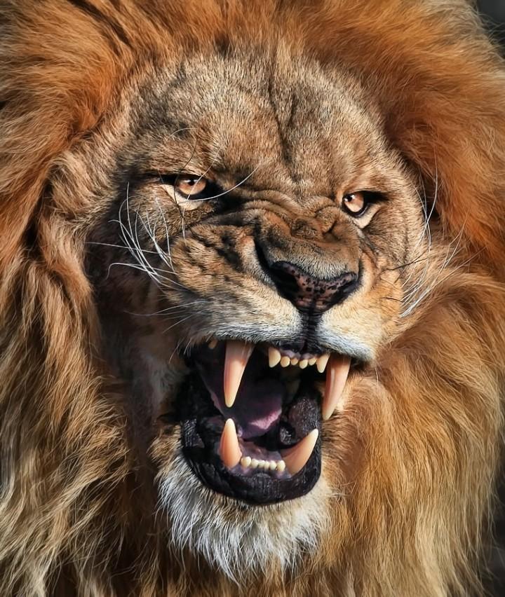 fotos leones alrededordelmundo 3