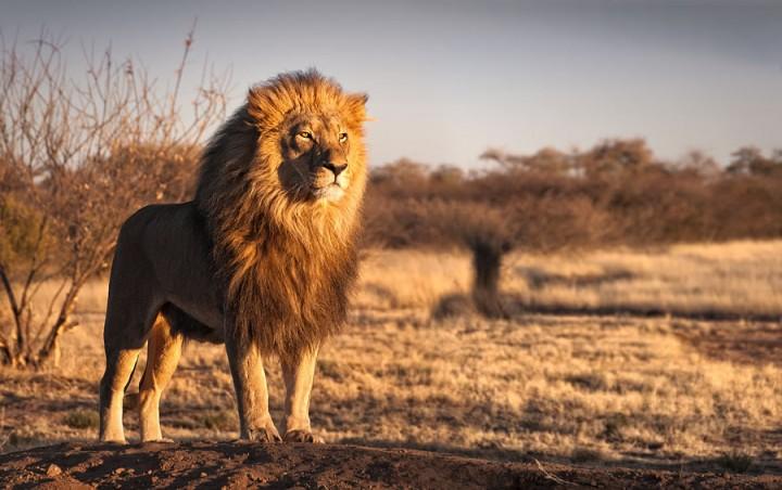 fotos leones alrededordelmundo 5