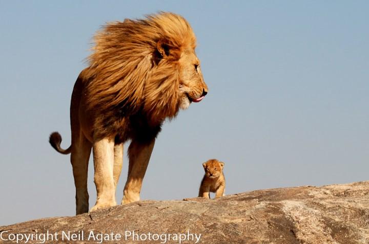 fotos leones alrededordelmundo 6