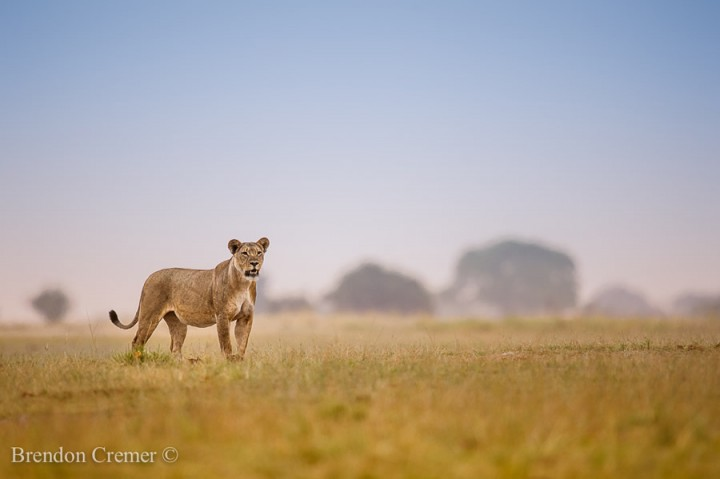fotos leones alrededordelmundo