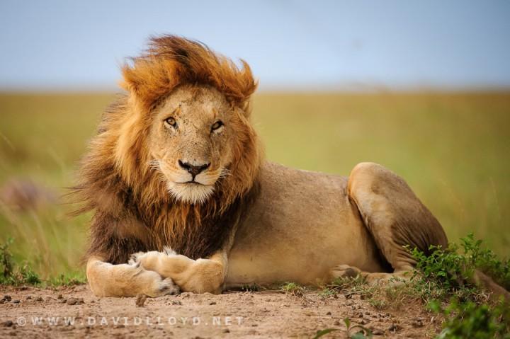 fotos leones hd